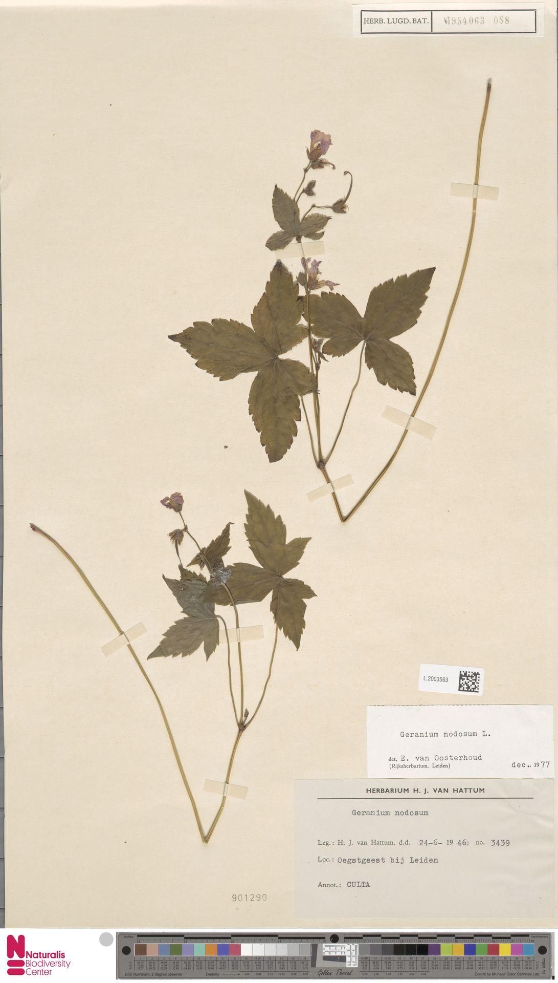 L.2003563 | Geranium nodosum L.