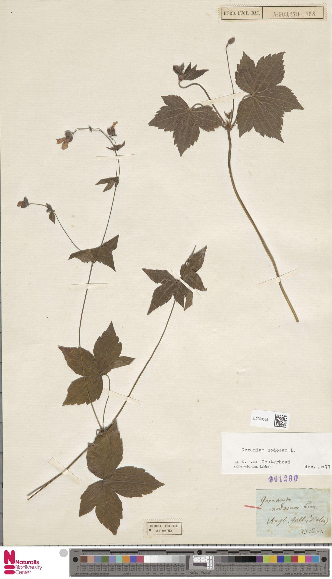 L.2003566 | Geranium nodosum L.