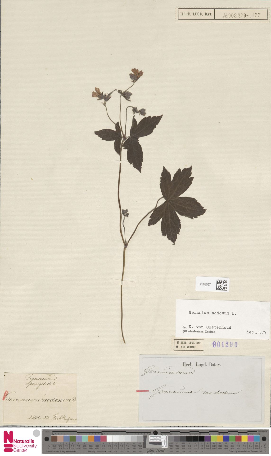 L.2003567 | Geranium nodosum L.