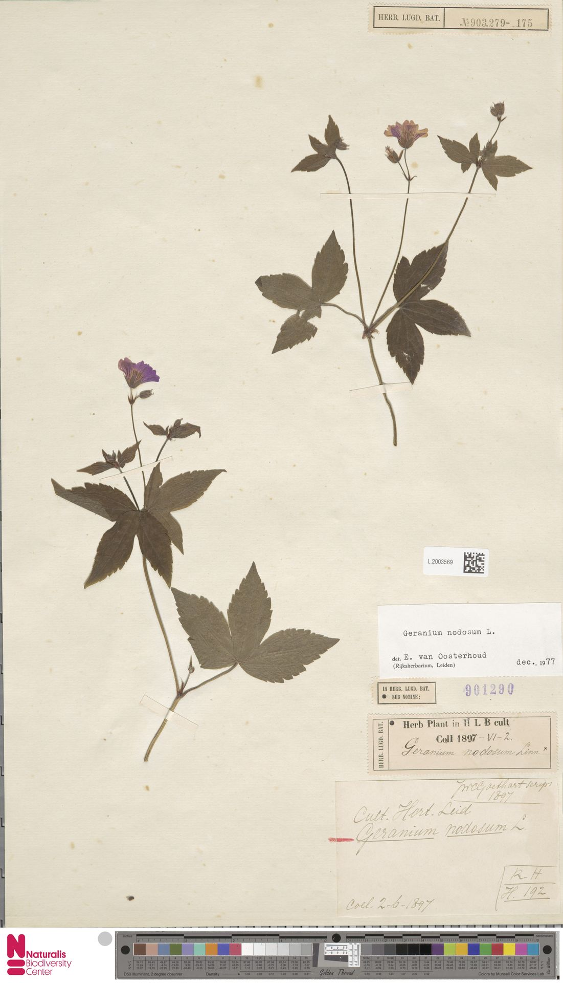L.2003569 | Geranium nodosum L.