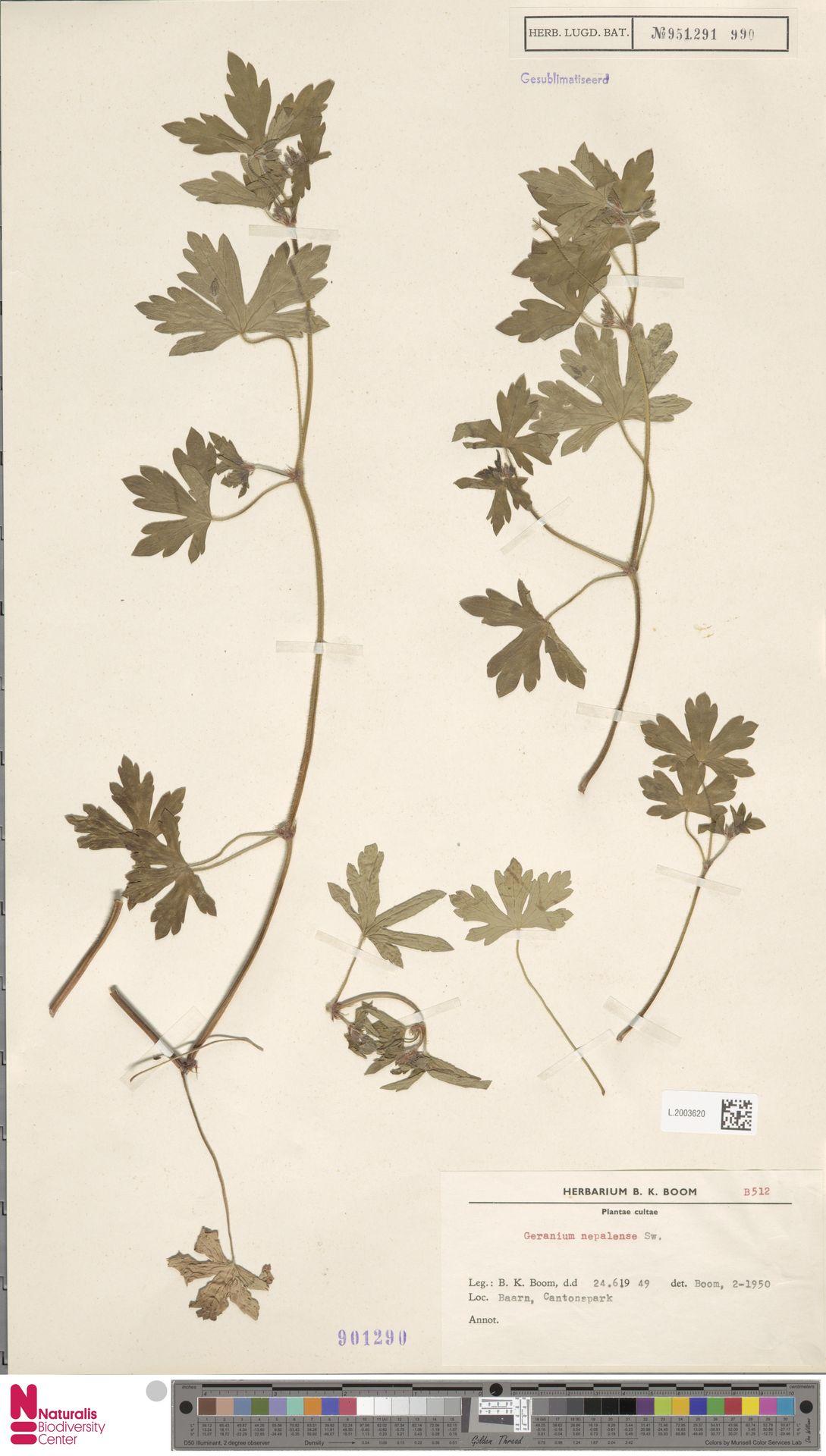 L.2003620   Geranium nepalense Sweet