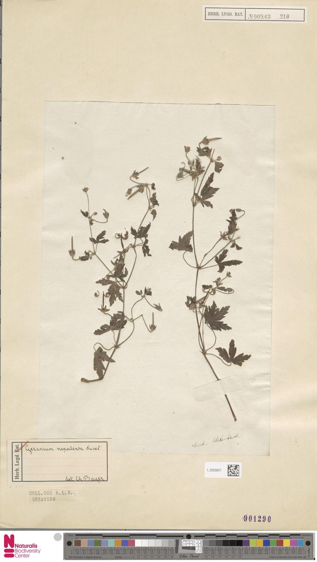 L.2003621 | Geranium nepalense Sweet