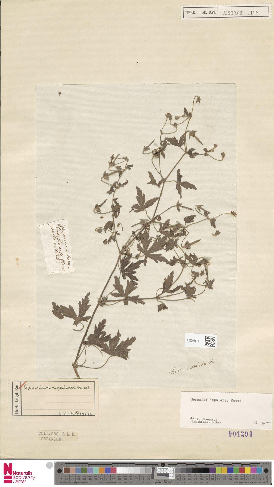 L.2003622 | Geranium nepalense Sweet