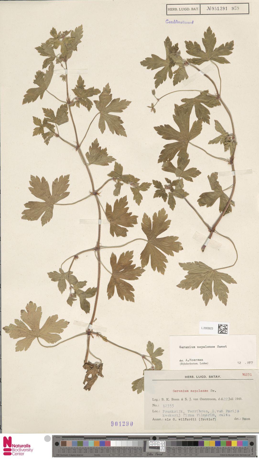 L.2003623 | Geranium nepalense Sweet