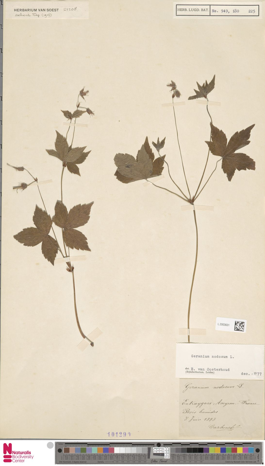 L.2003631 | Geranium nodosum L.