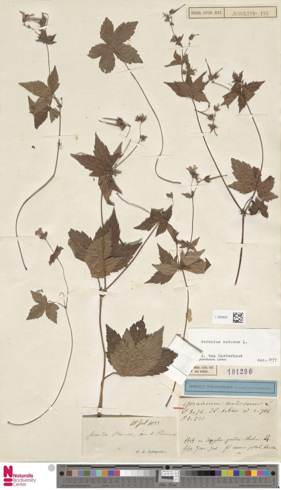 L.2003632 | Geranium nodosum L.