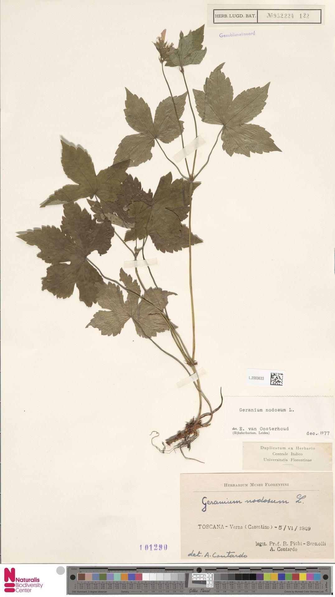 L.2003633 | Geranium nodosum L.