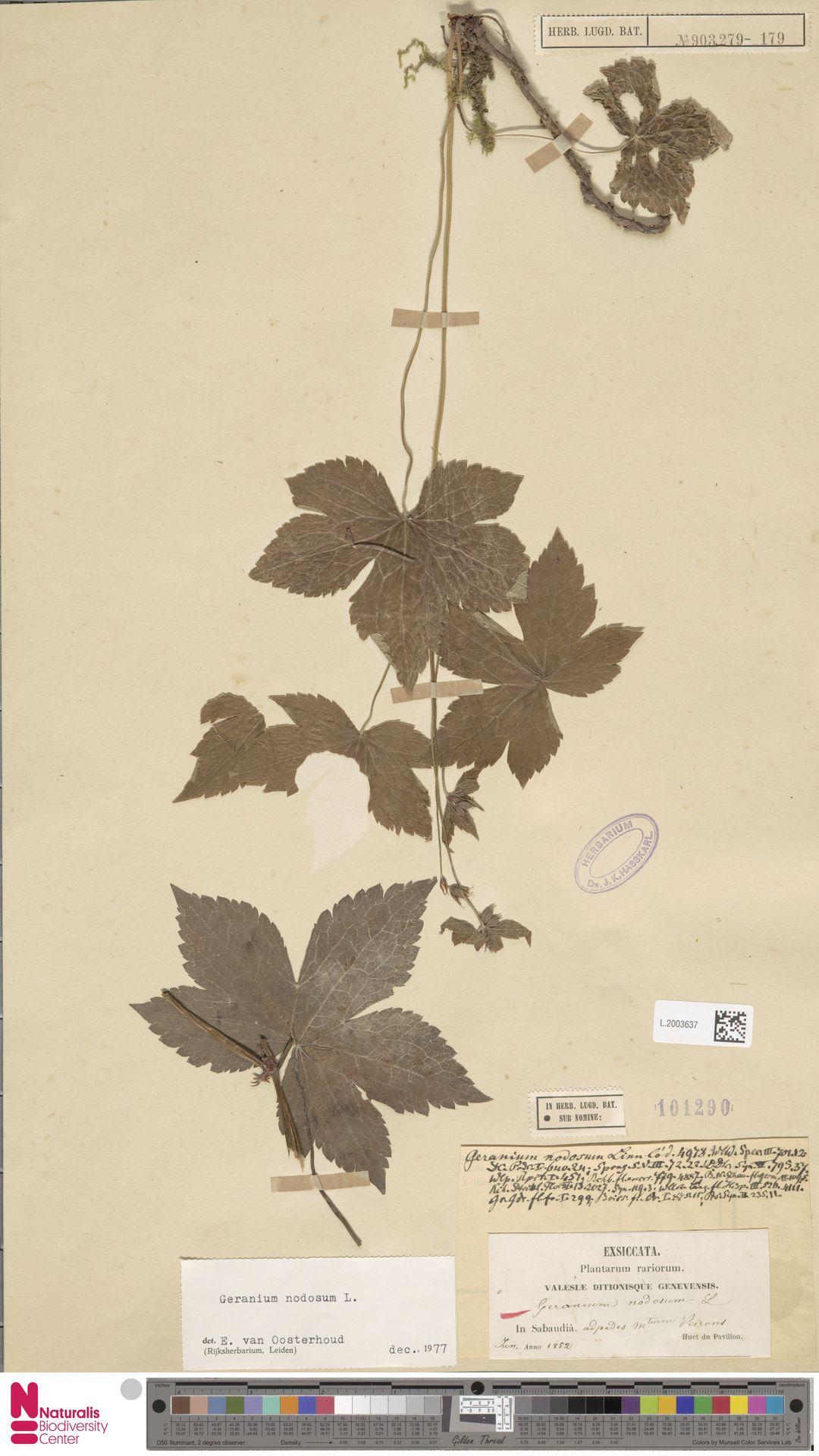 L.2003637 | Geranium nodosum L.