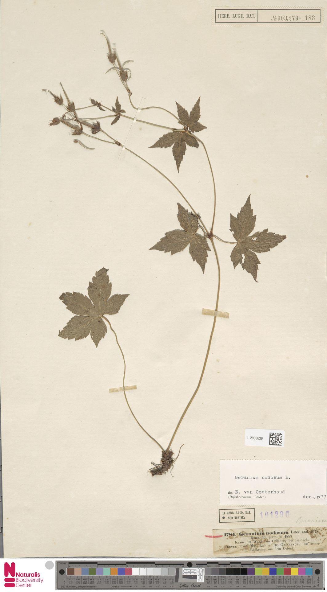 L.2003639 | Geranium nodosum L.