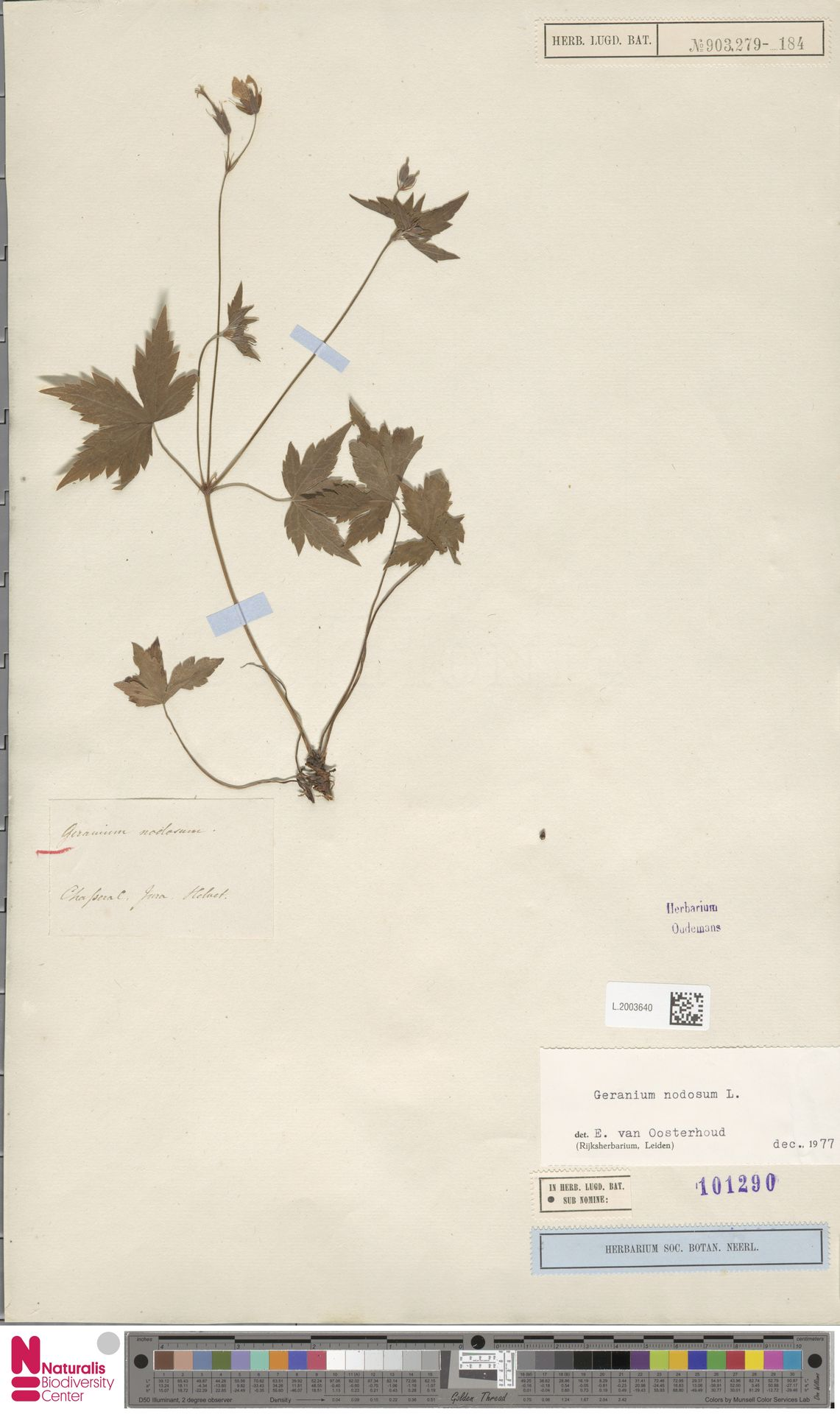 L.2003640 | Geranium nodosum L.
