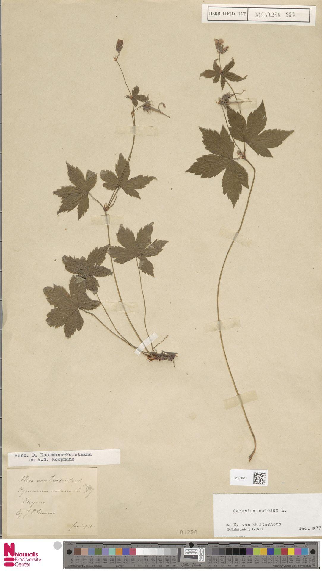 L.2003641 | Geranium nodosum L.