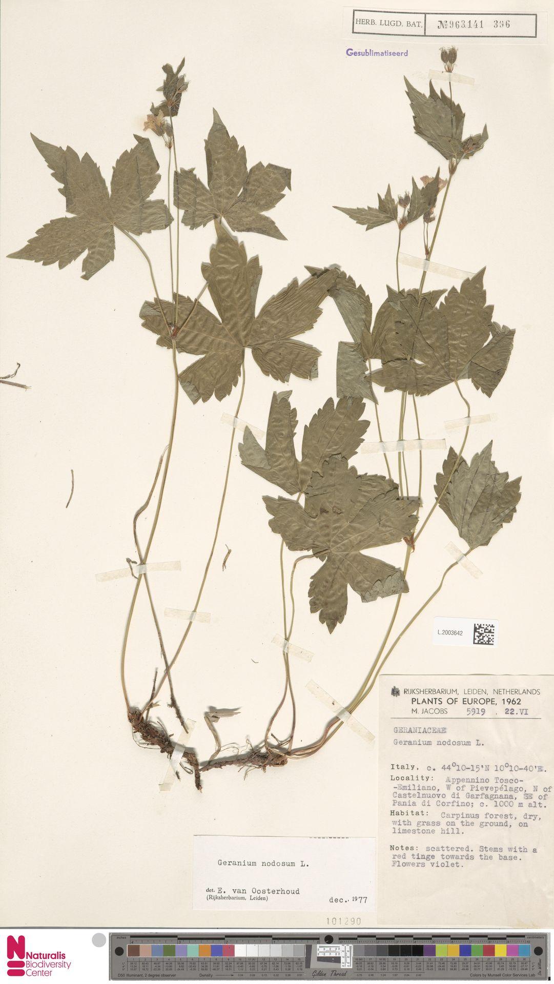 L.2003642   Geranium nodosum L.