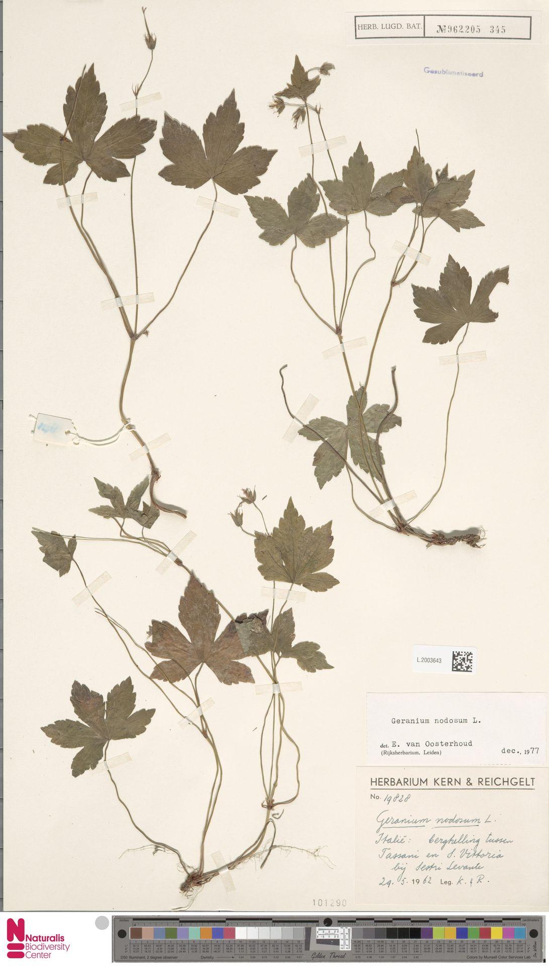 L.2003643 | Geranium nodosum L.