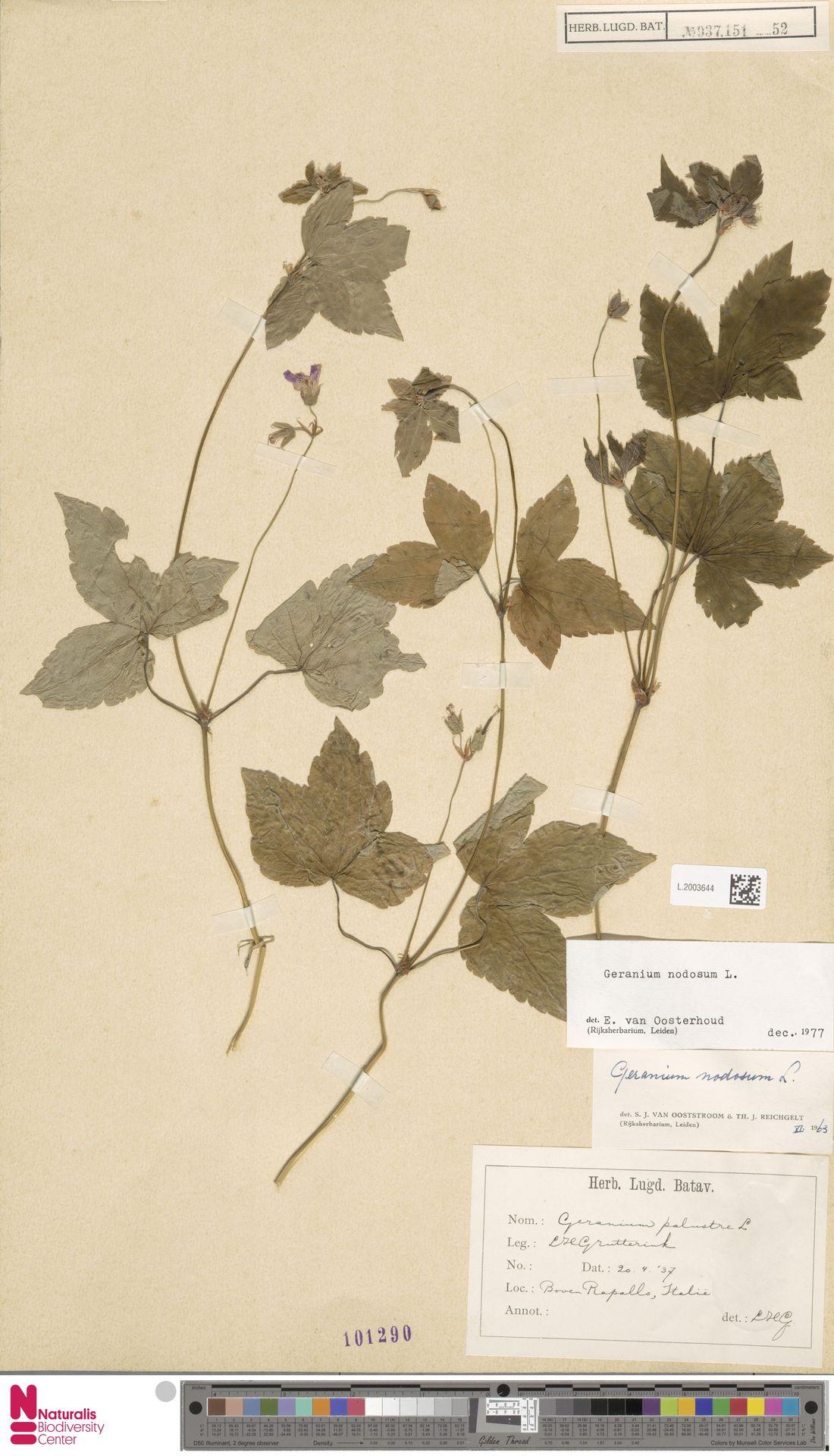 L.2003644 | Geranium nodosum L.