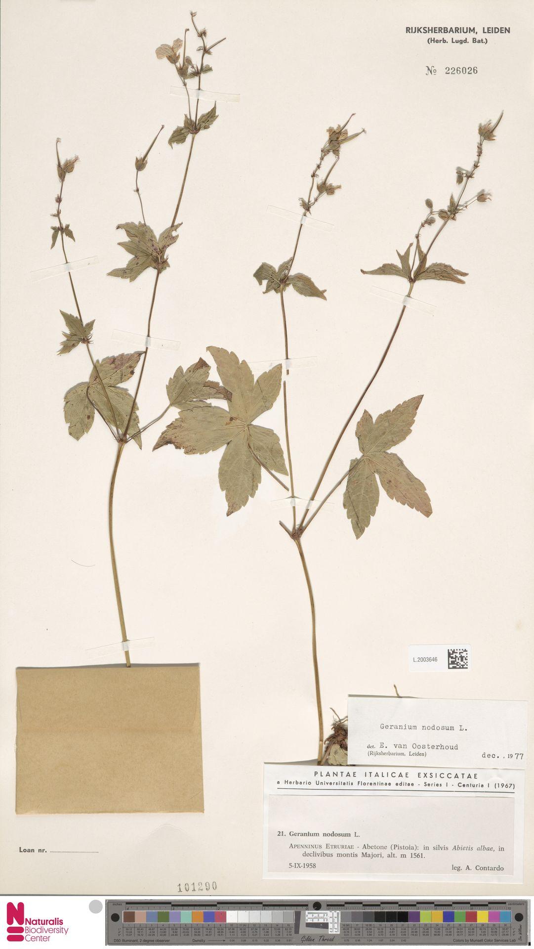 L.2003646 | Geranium nodosum L.