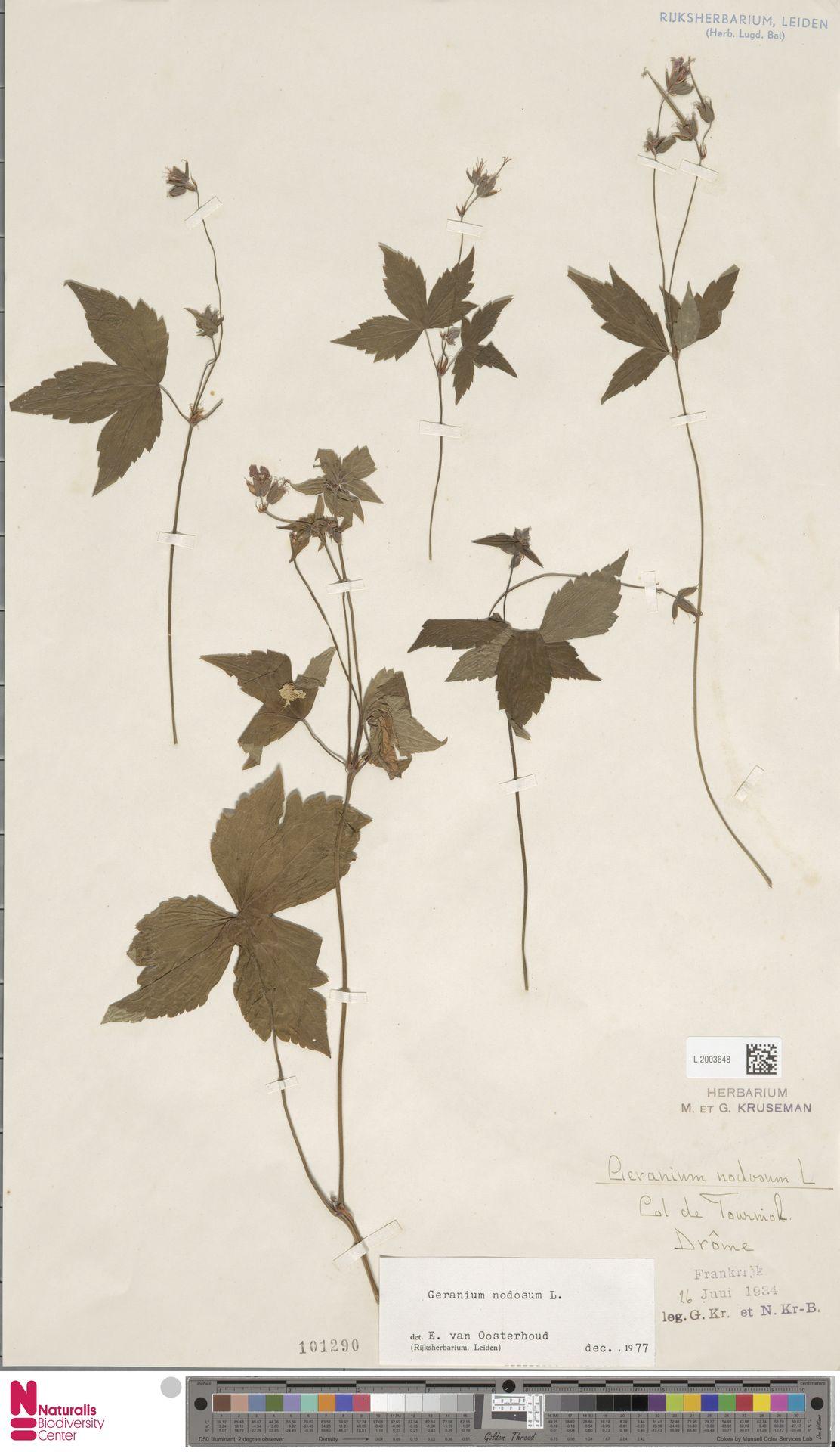 L.2003648 | Geranium nodosum L.
