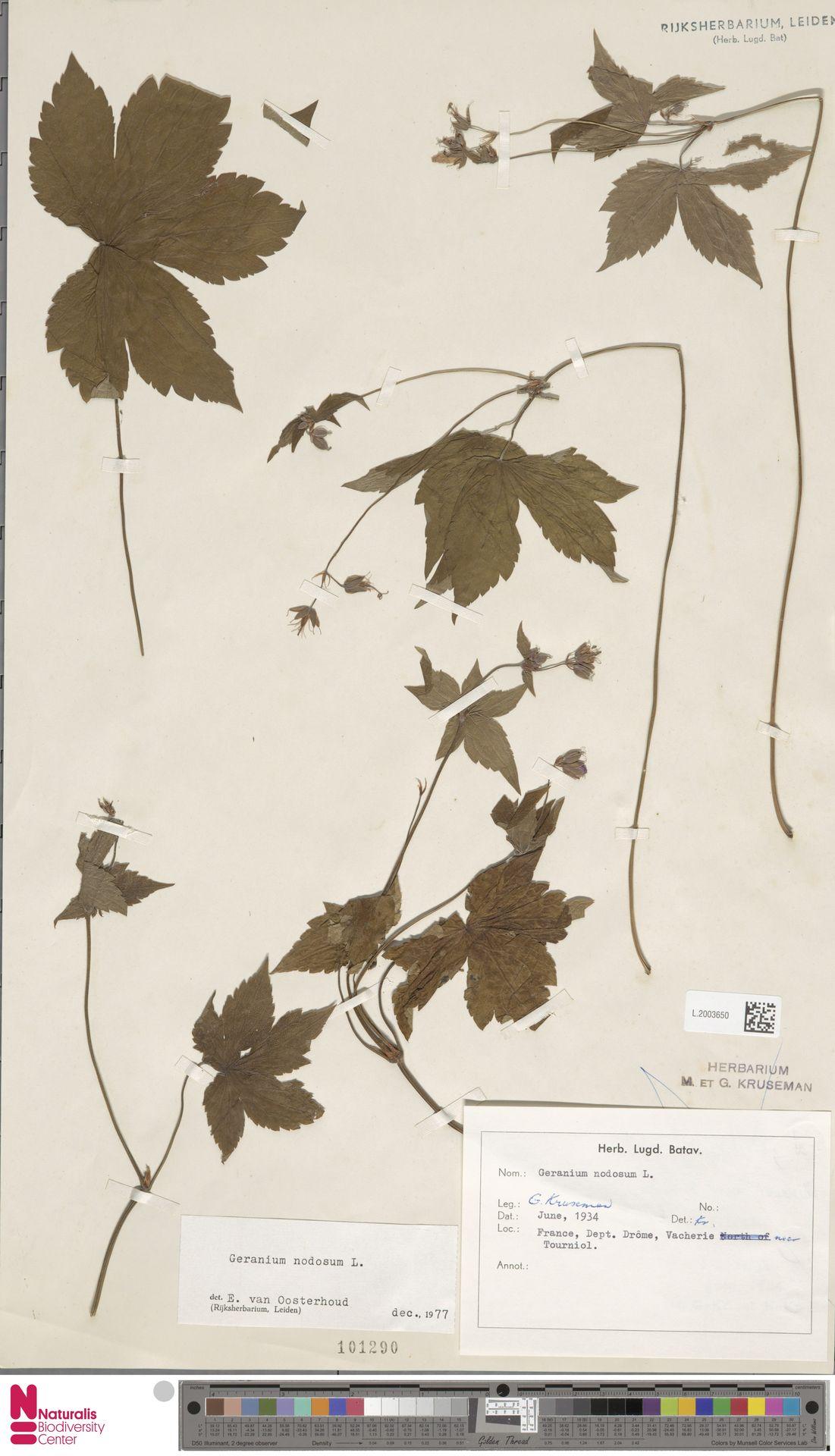 L.2003650 | Geranium nodosum L.