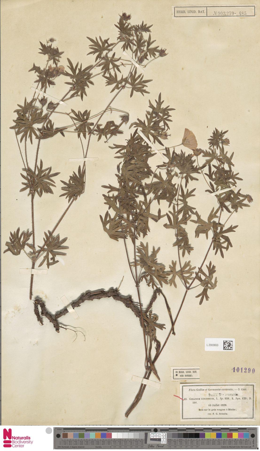 L.2003653   Geranium sanguineum L.