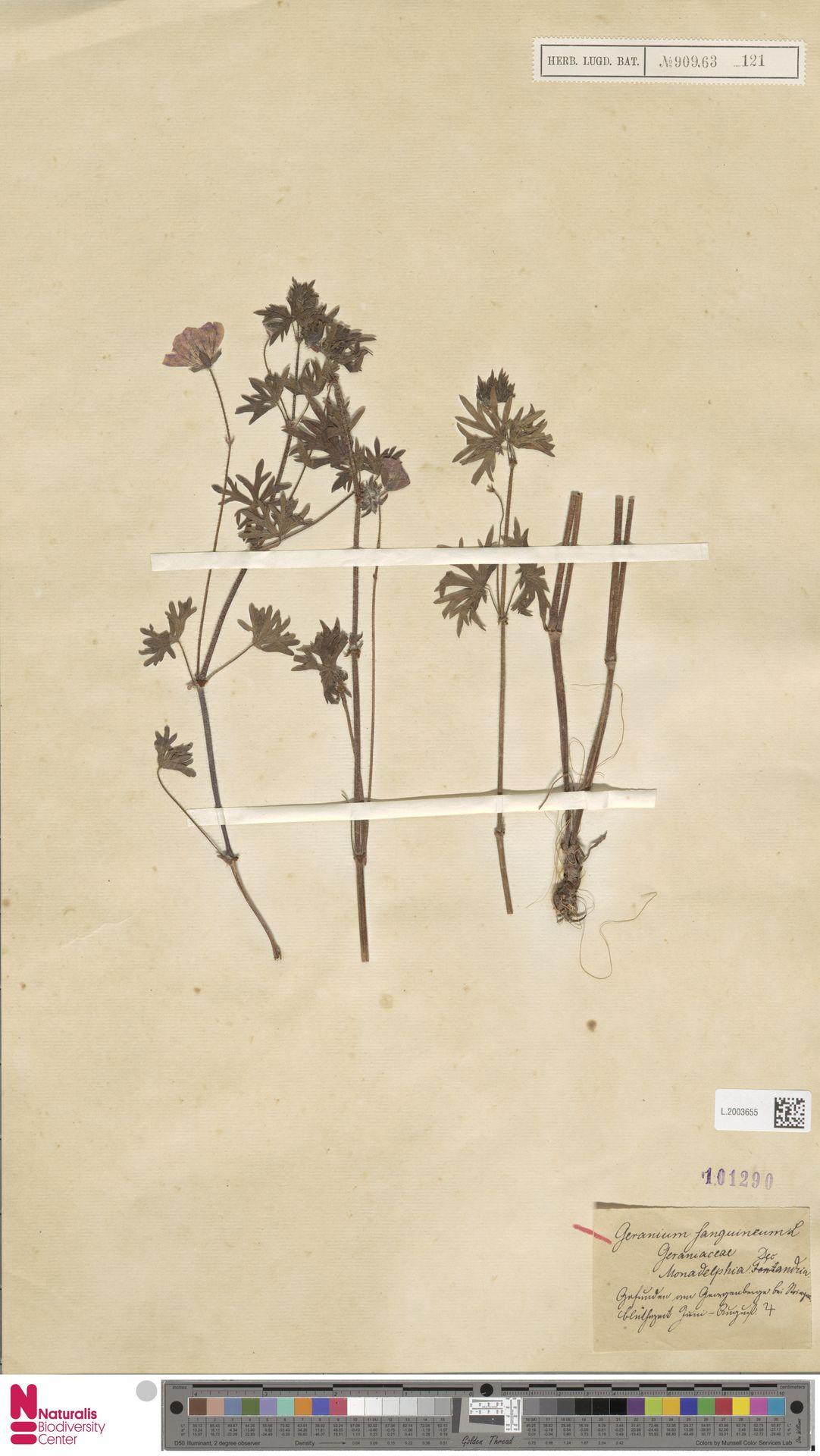 L.2003655   Geranium sanguineum L.