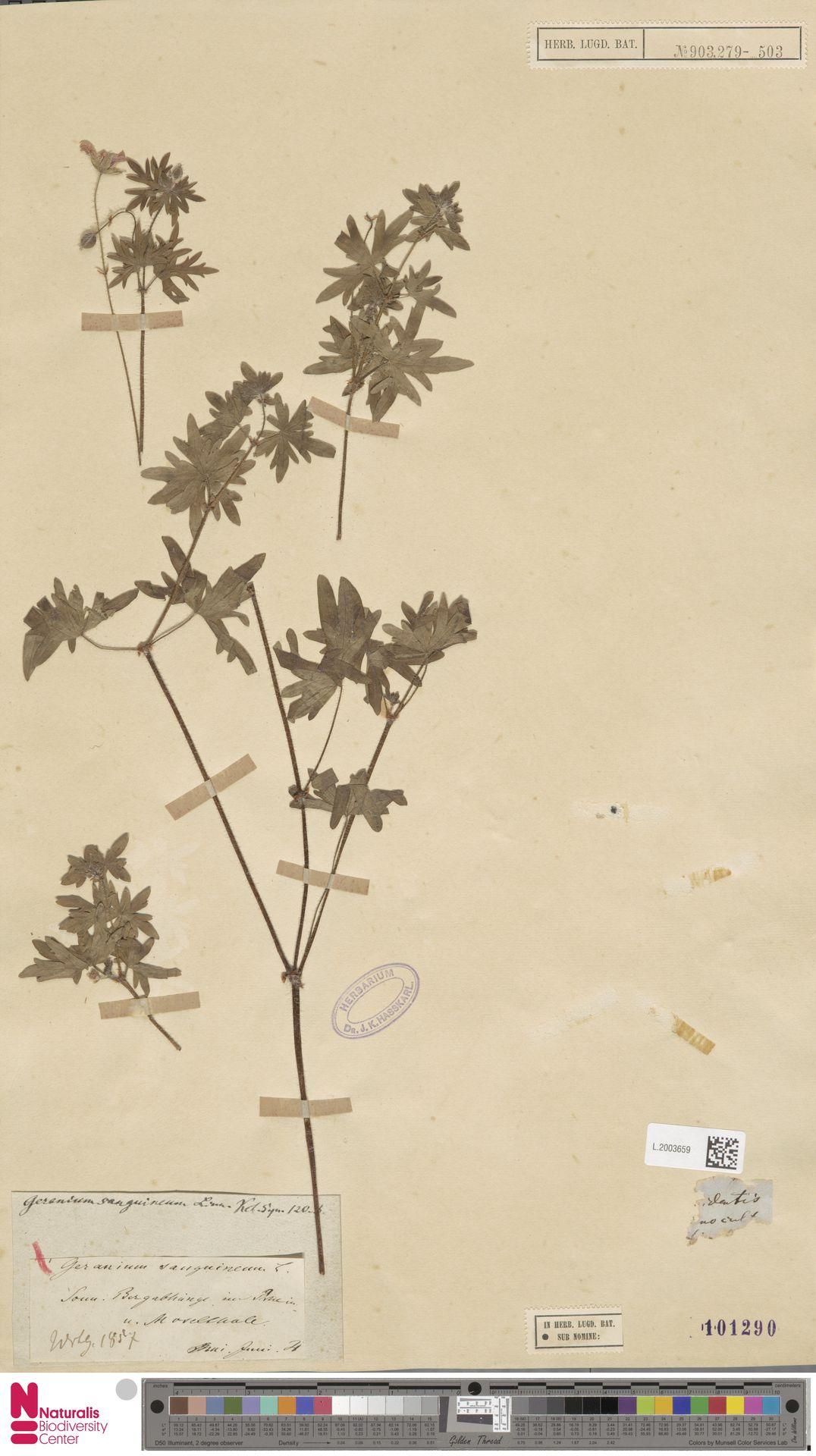 L.2003659 | Geranium sanguineum L.