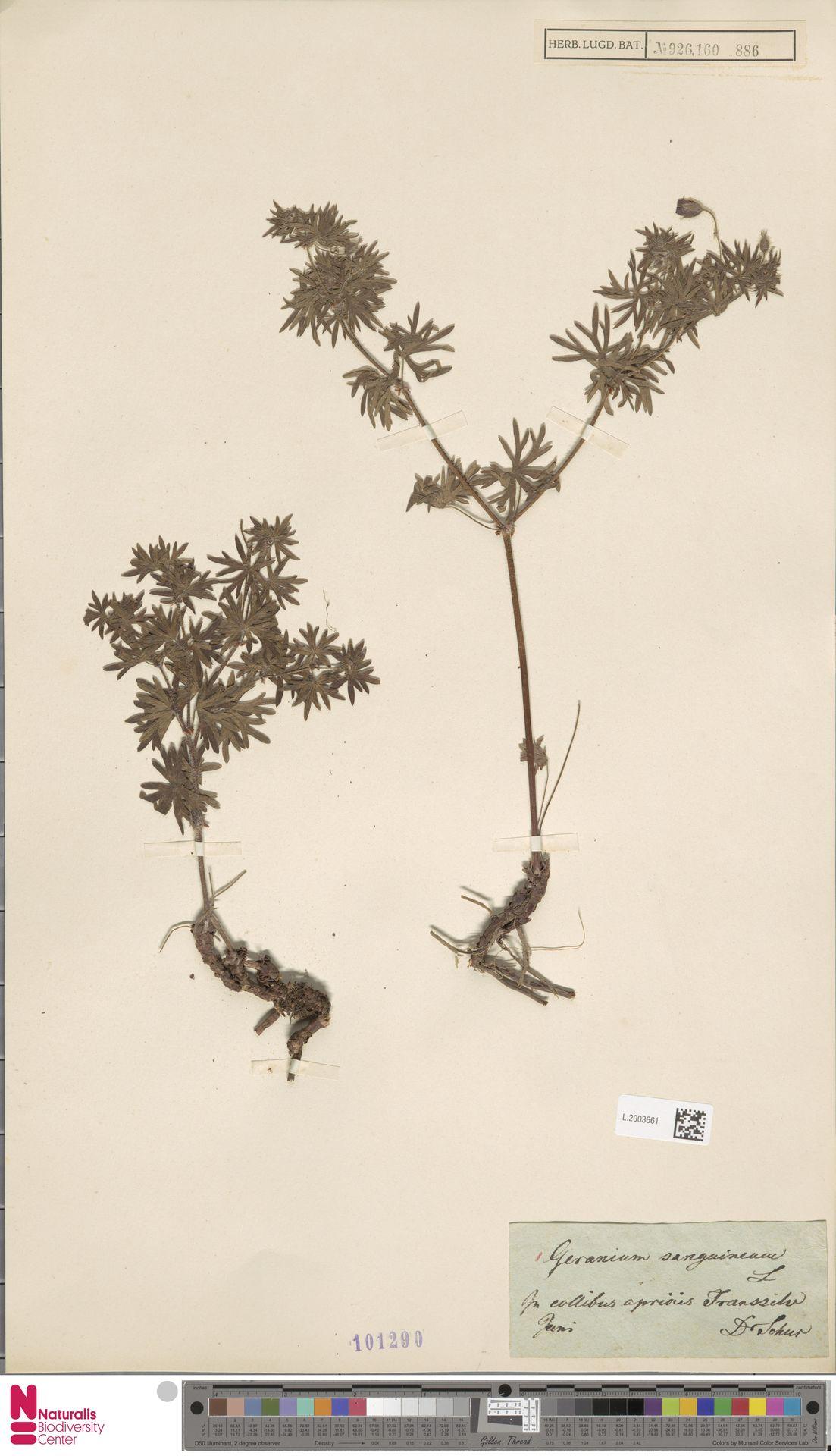 L.2003661   Geranium sanguineum L.