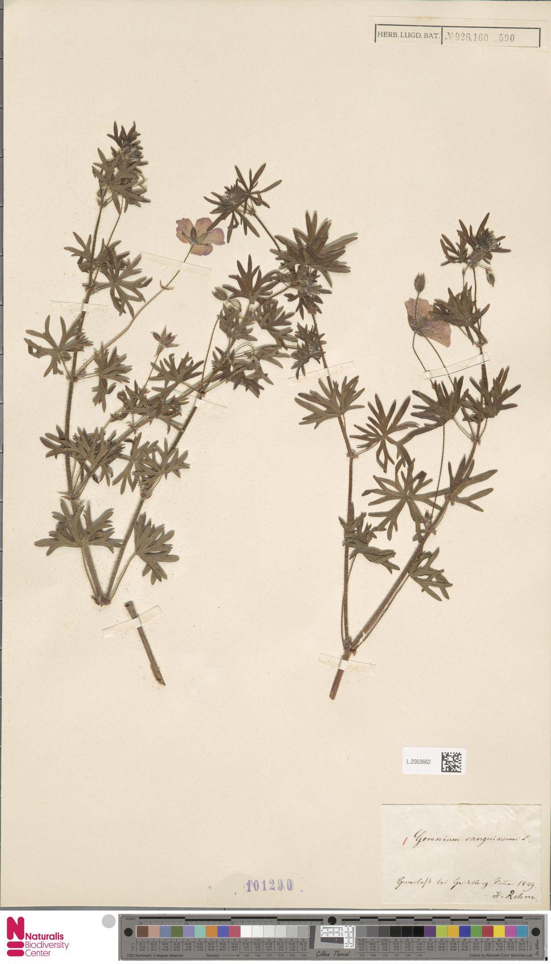 L.2003662 | Geranium sanguineum L.