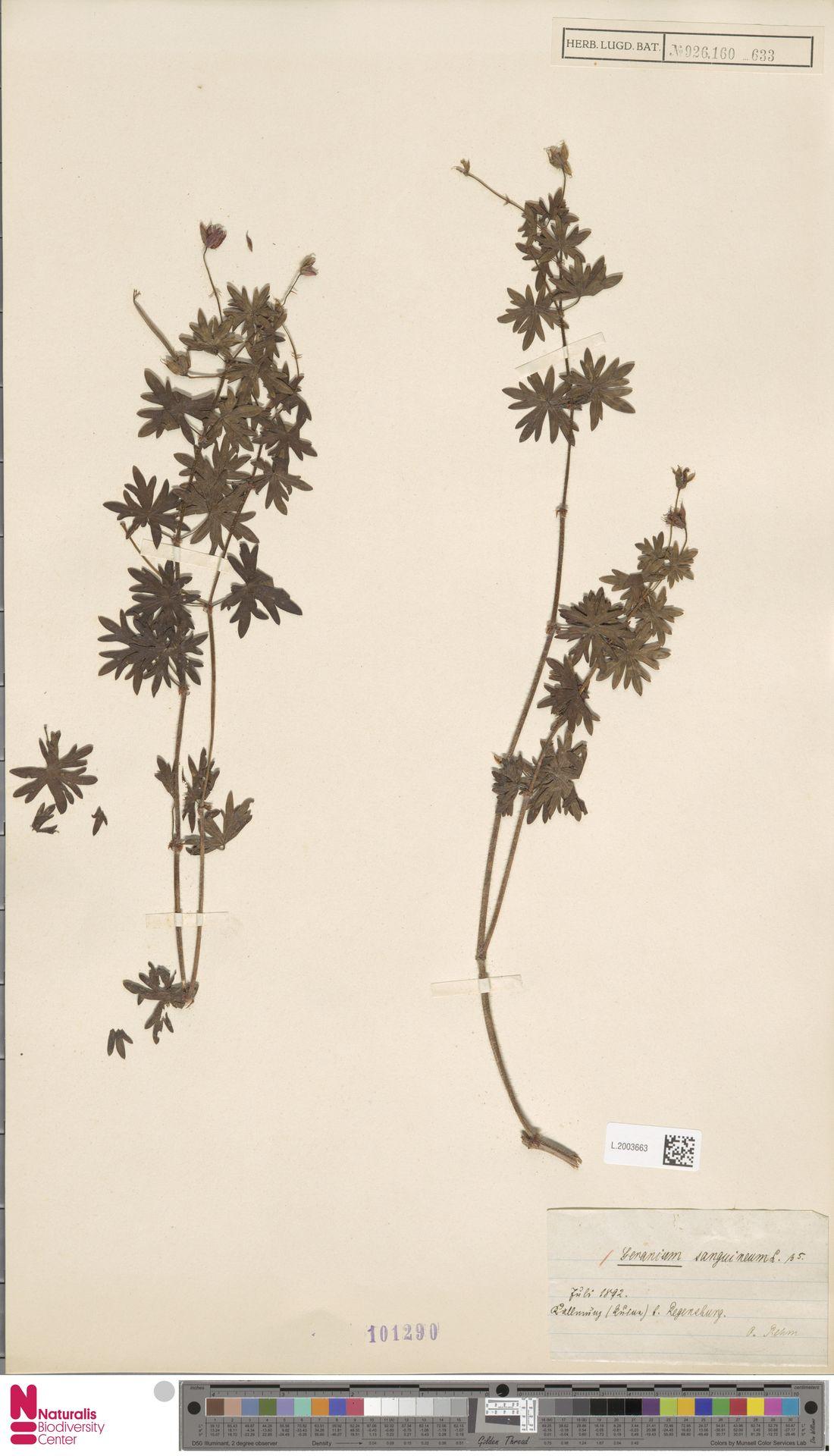 L.2003663 | Geranium sanguineum L.