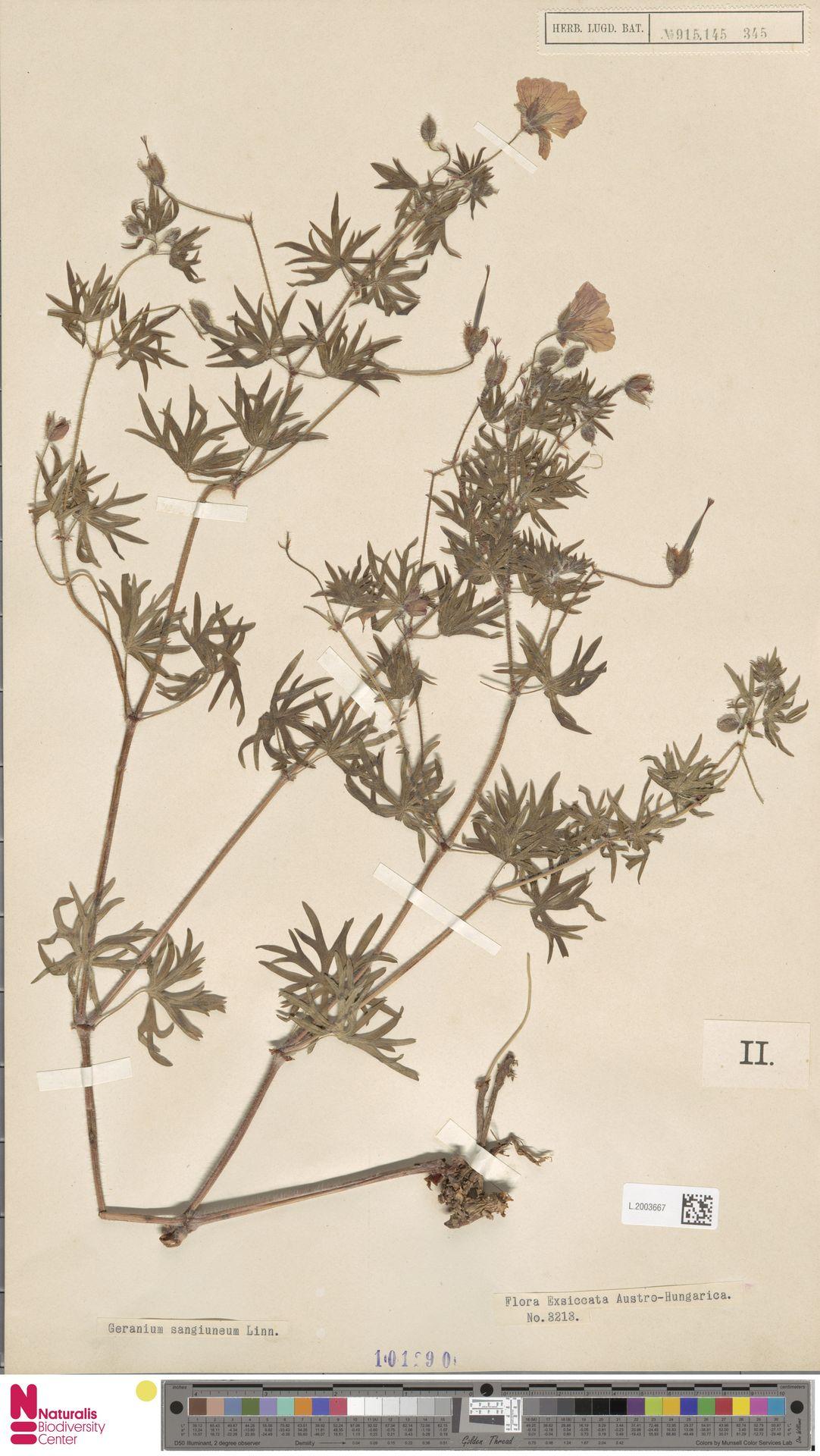 L.2003667 | Geranium sanguineum L.