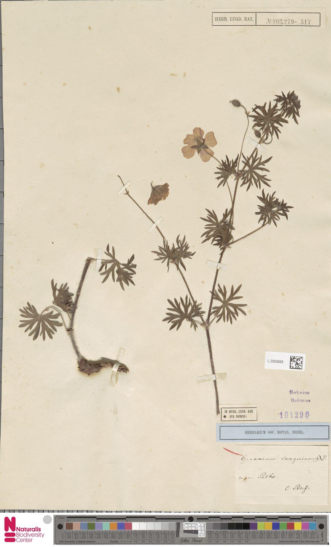 L.2003668 | Geranium sanguineum L.