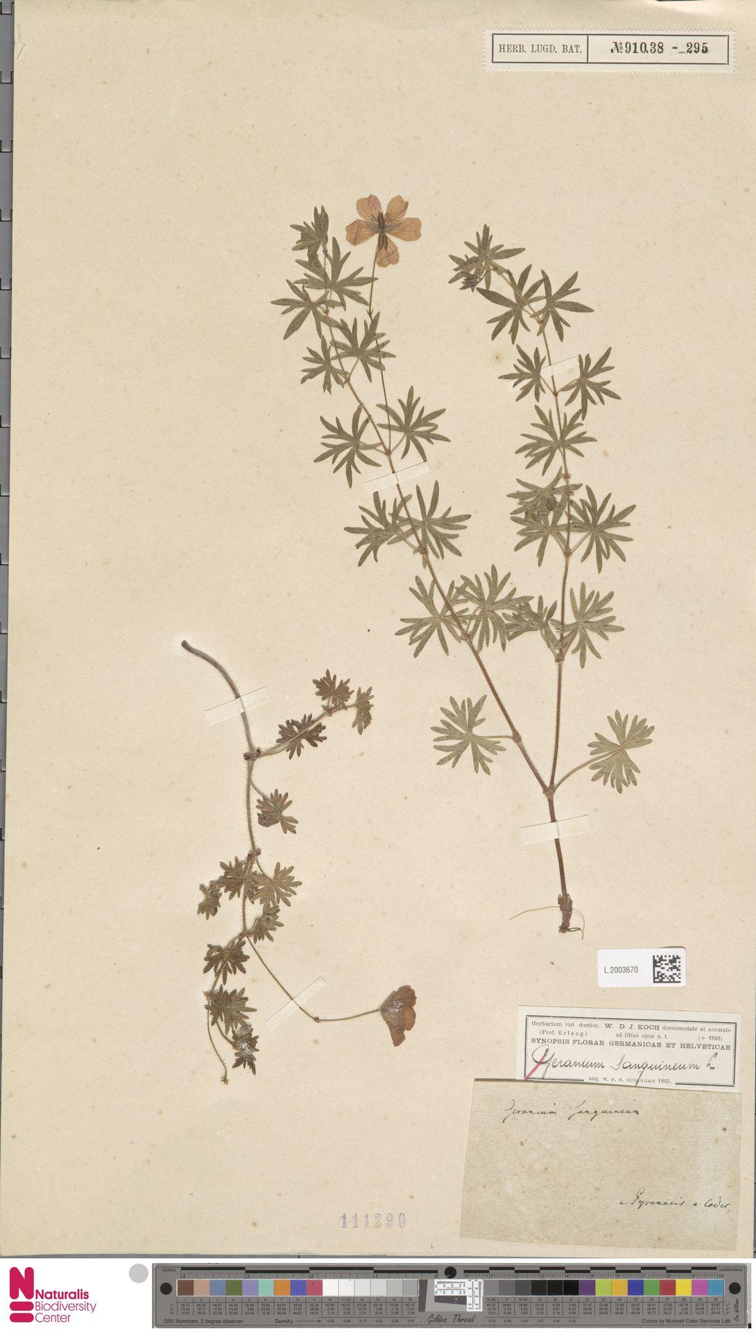 L.2003670 | Geranium sanguineum L.