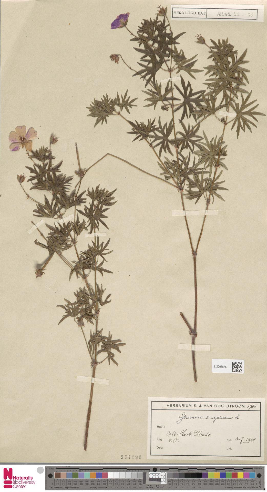 L.2003675   Geranium sanguineum L.