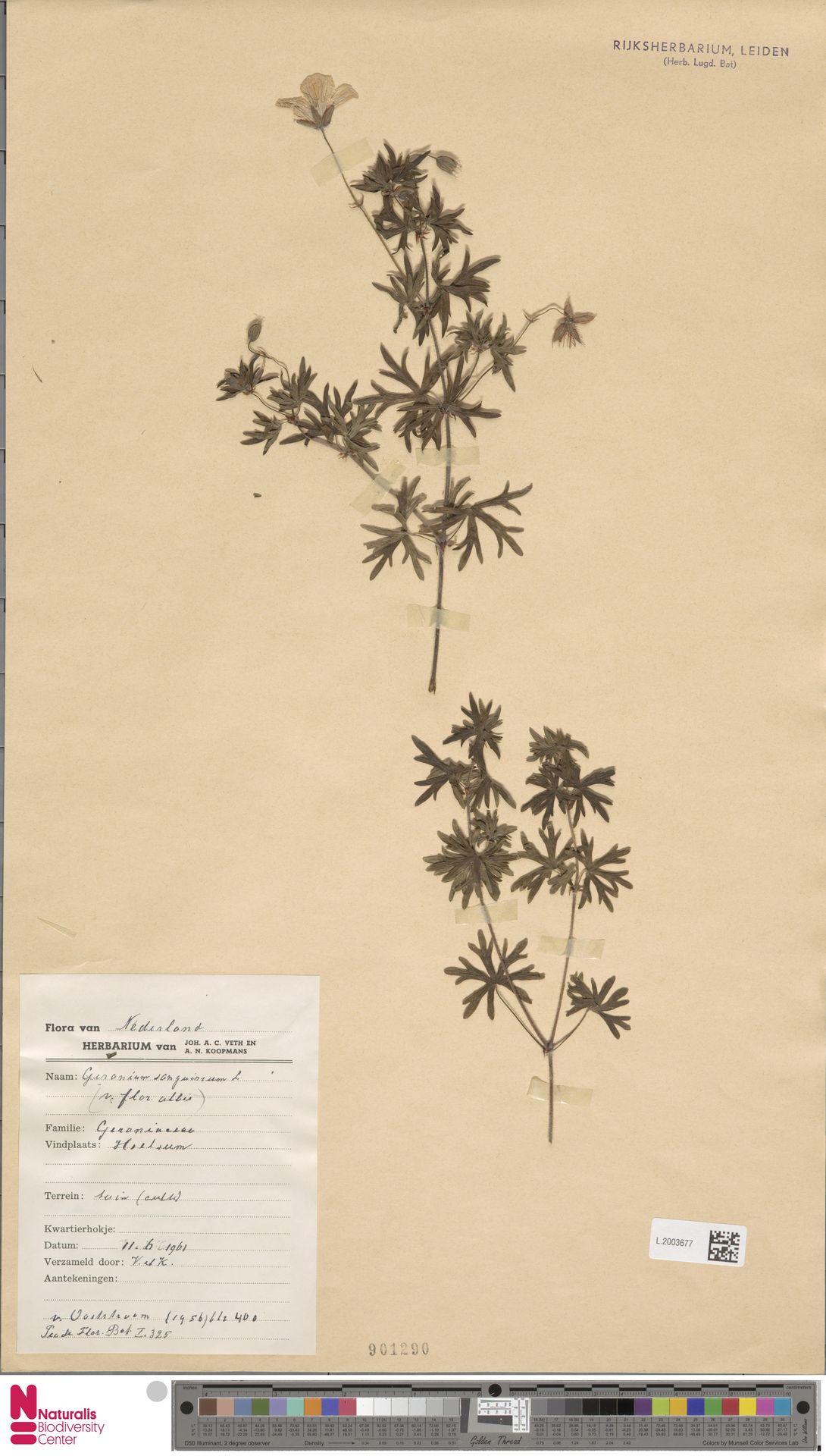 L.2003677 | Geranium sanguineum L.