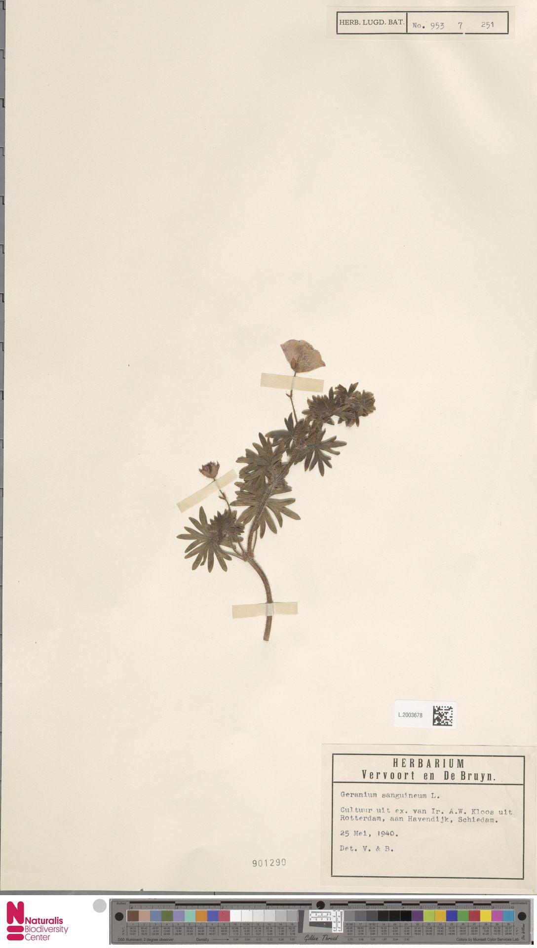 L.2003678 | Geranium sanguineum L.