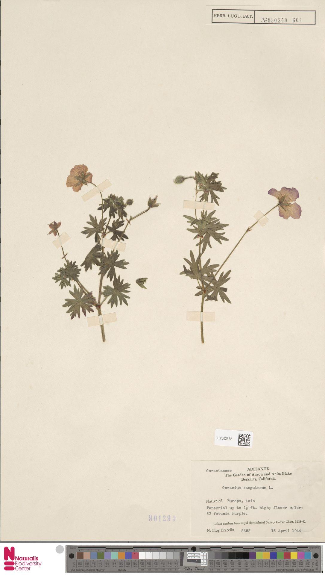 L.2003682 | Geranium sanguineum L.