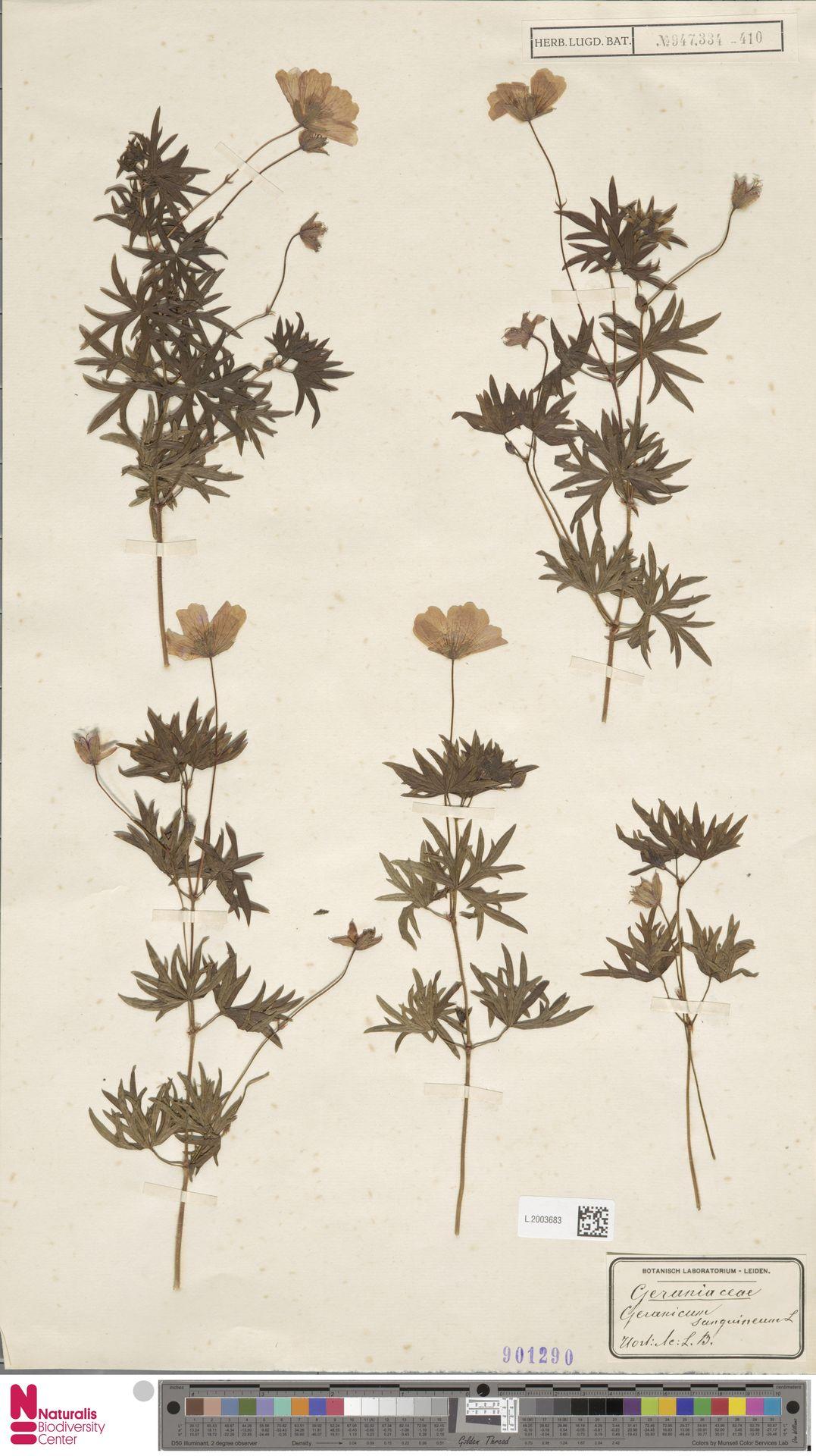 L.2003683 | Geranium sanguineum L.