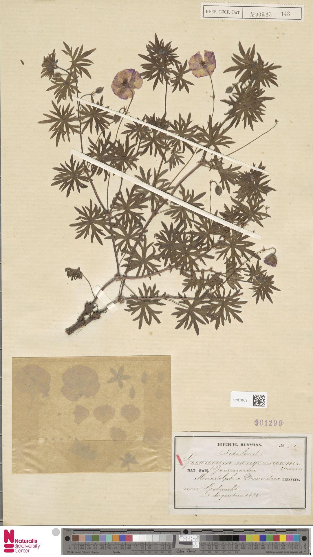 L.2003685   Geranium sanguineum L.