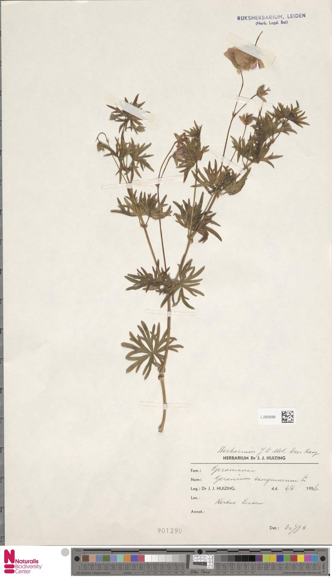 L.2003688 | Geranium sanguineum L.