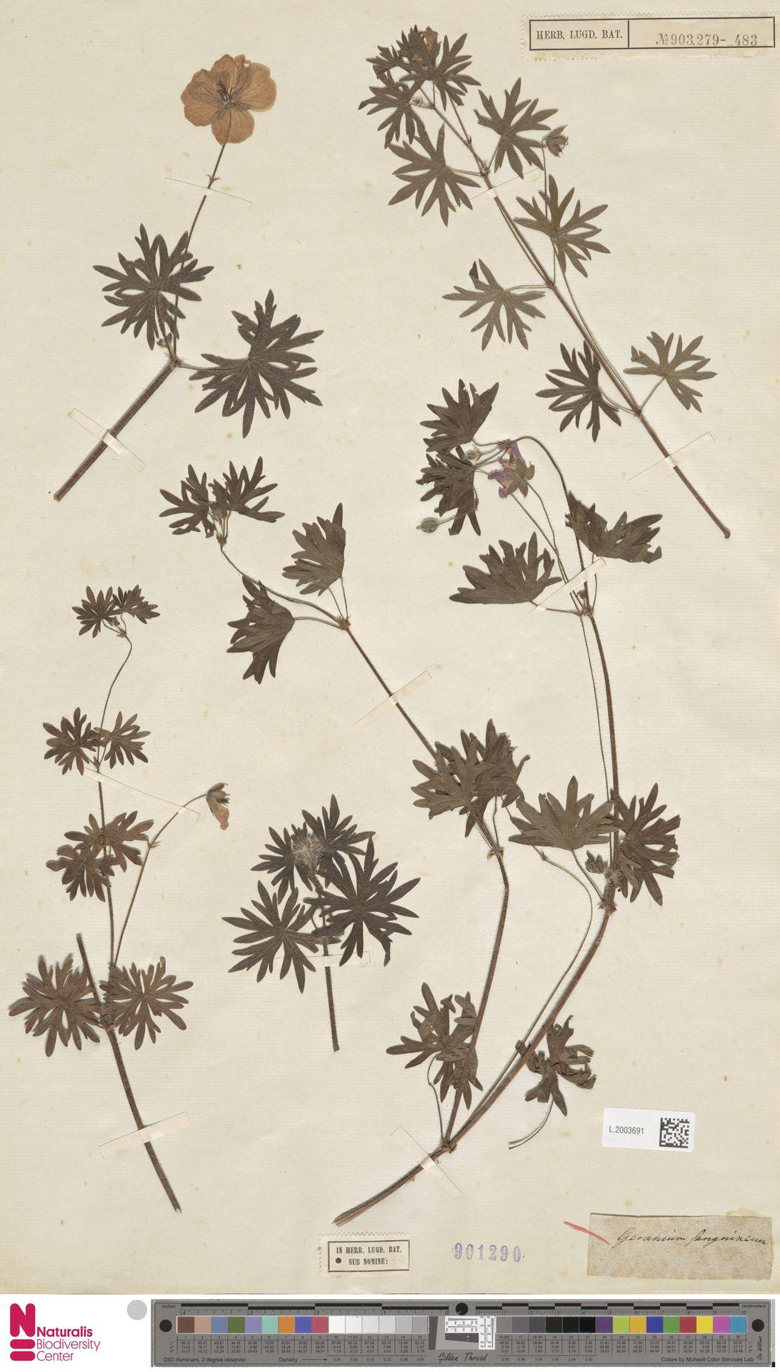 L.2003691 | Geranium sanguineum L.