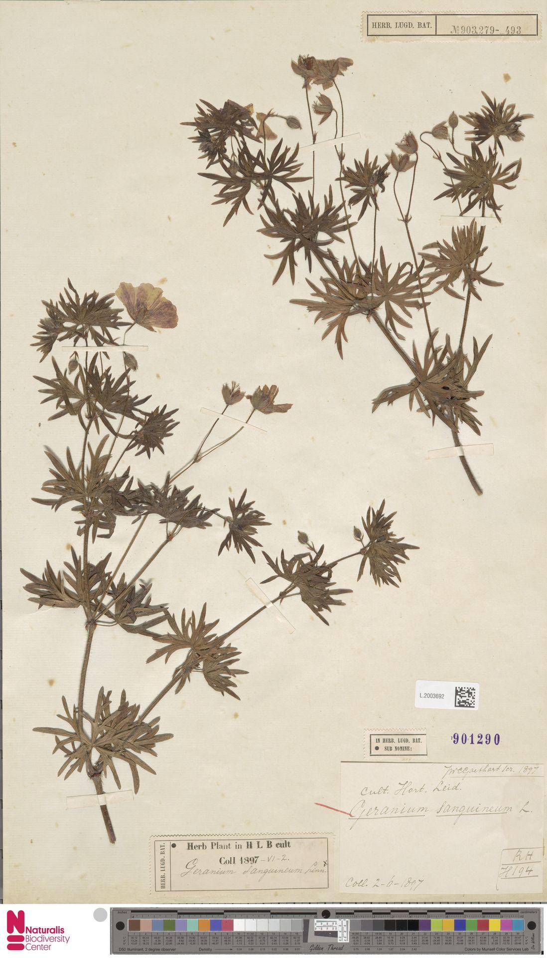 L.2003692 | Geranium sanguineum L.