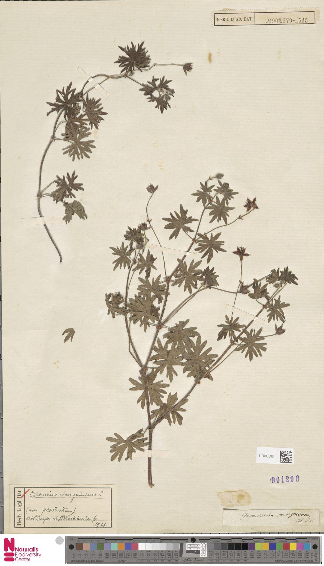 L.2003696 | Geranium sanguineum L.