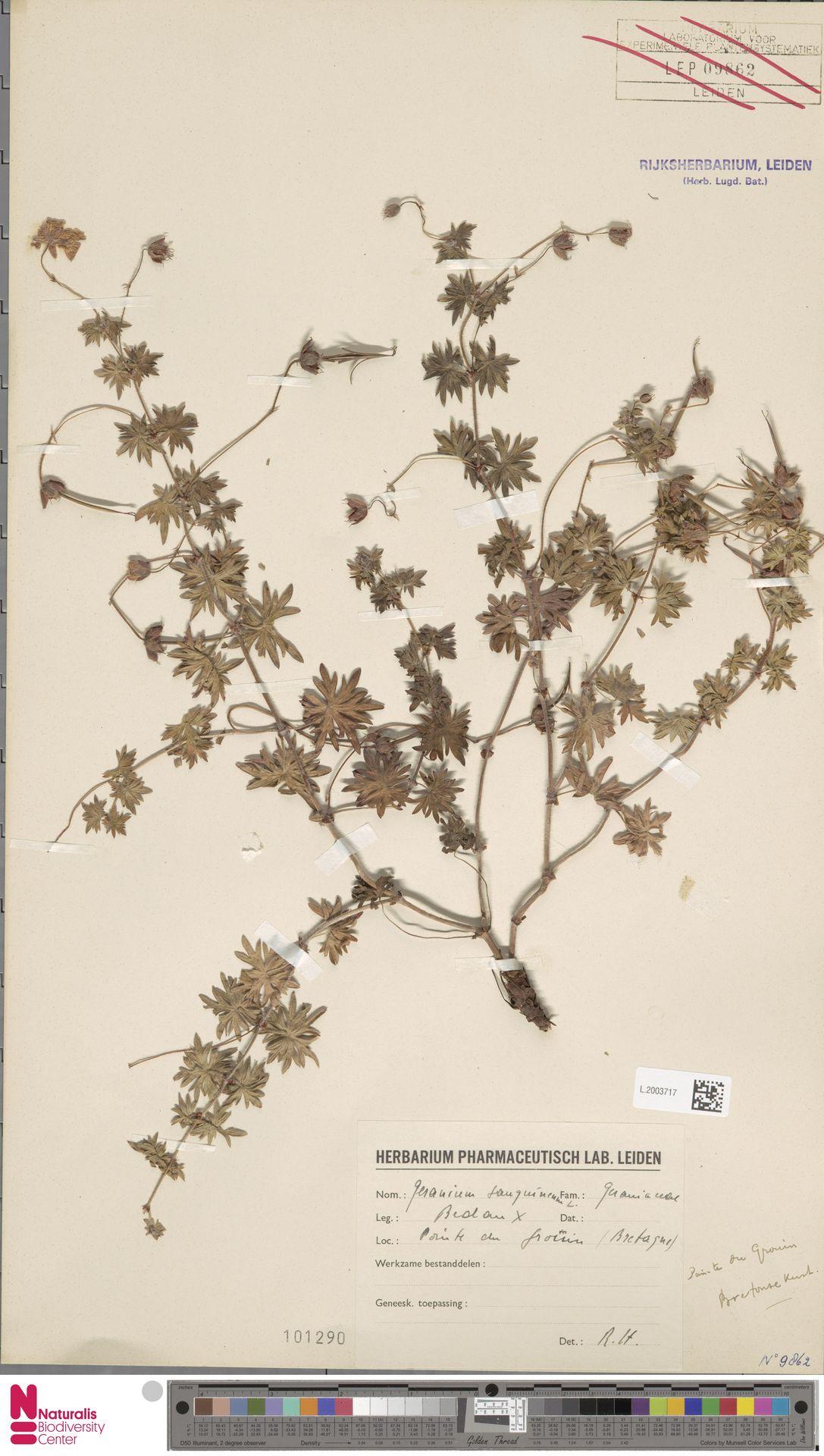 L.2003717 | Geranium sanguineum L.
