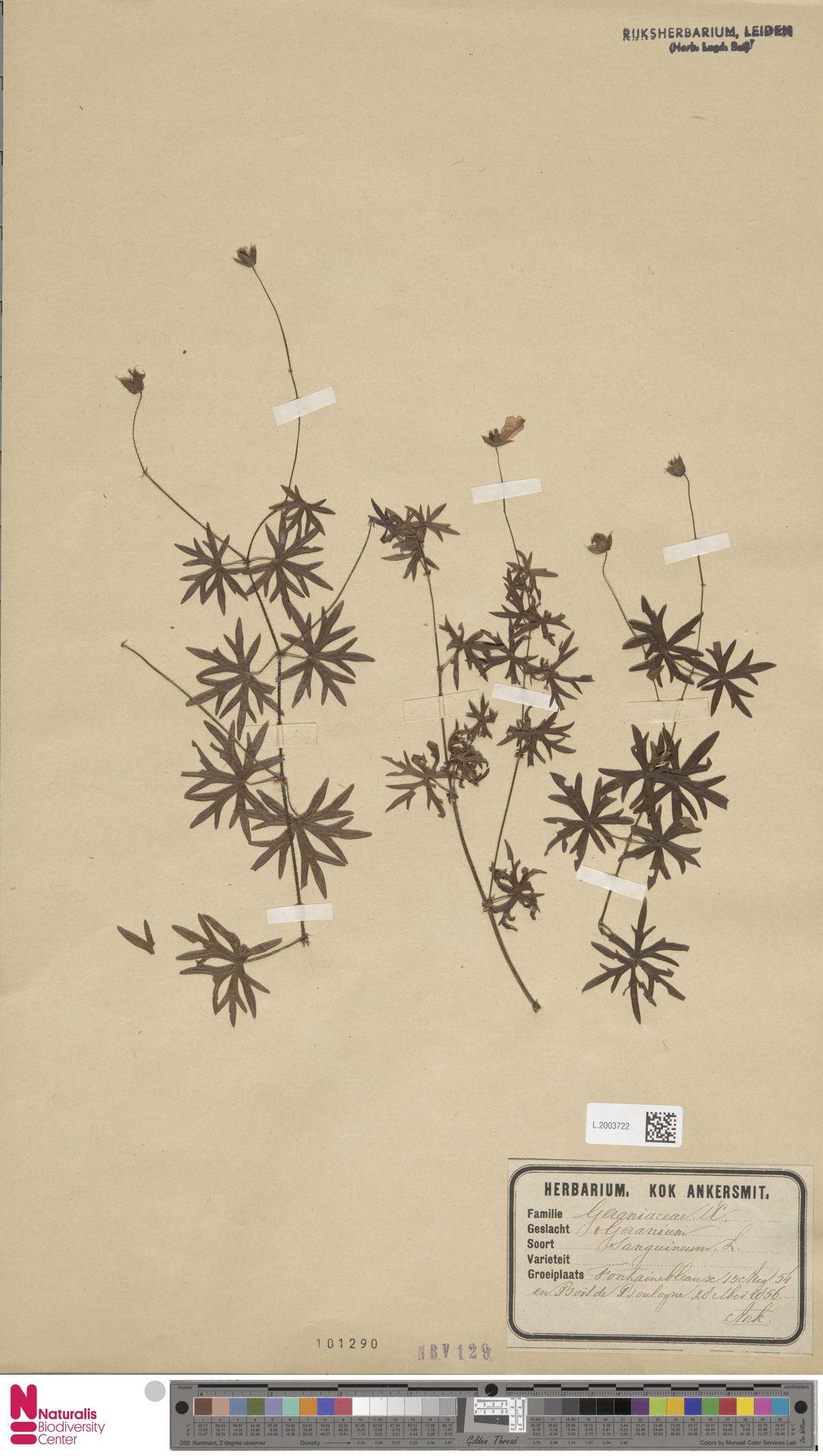 L.2003722 | Geranium sanguineum L.