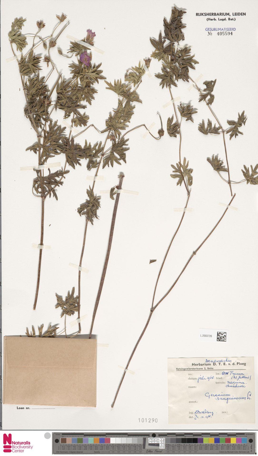 L.2003726   Geranium sanguineum L.