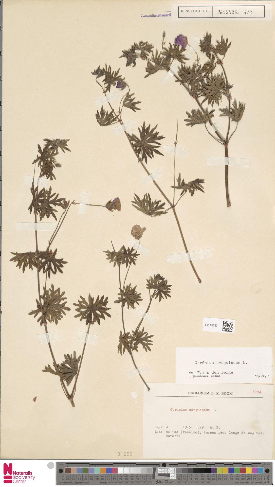 L.2003730 | Geranium sanguineum L.