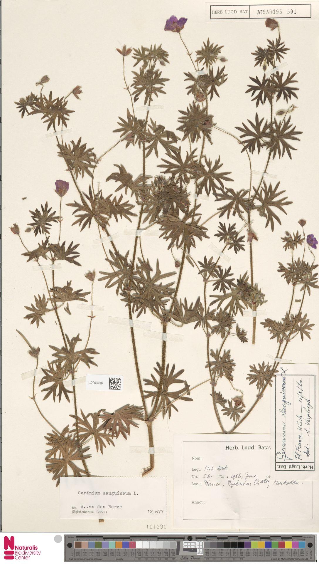 L.2003736   Geranium sanguineum L.