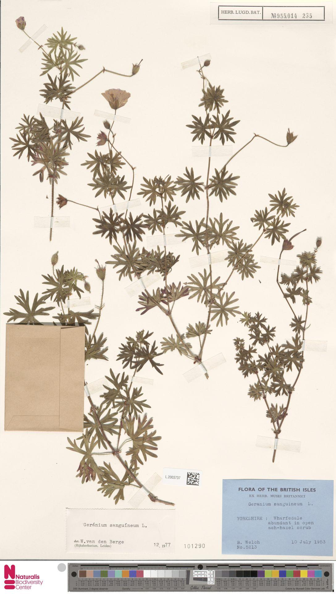 L.2003737   Geranium sanguineum L.