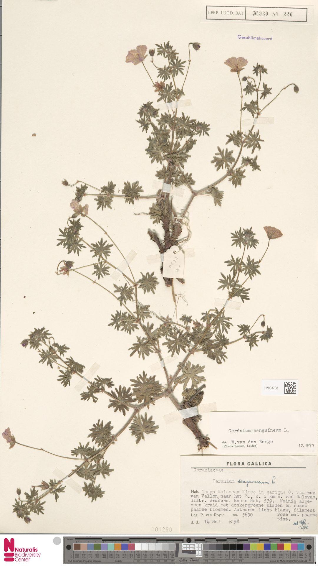 L.2003738 | Geranium sanguineum L.