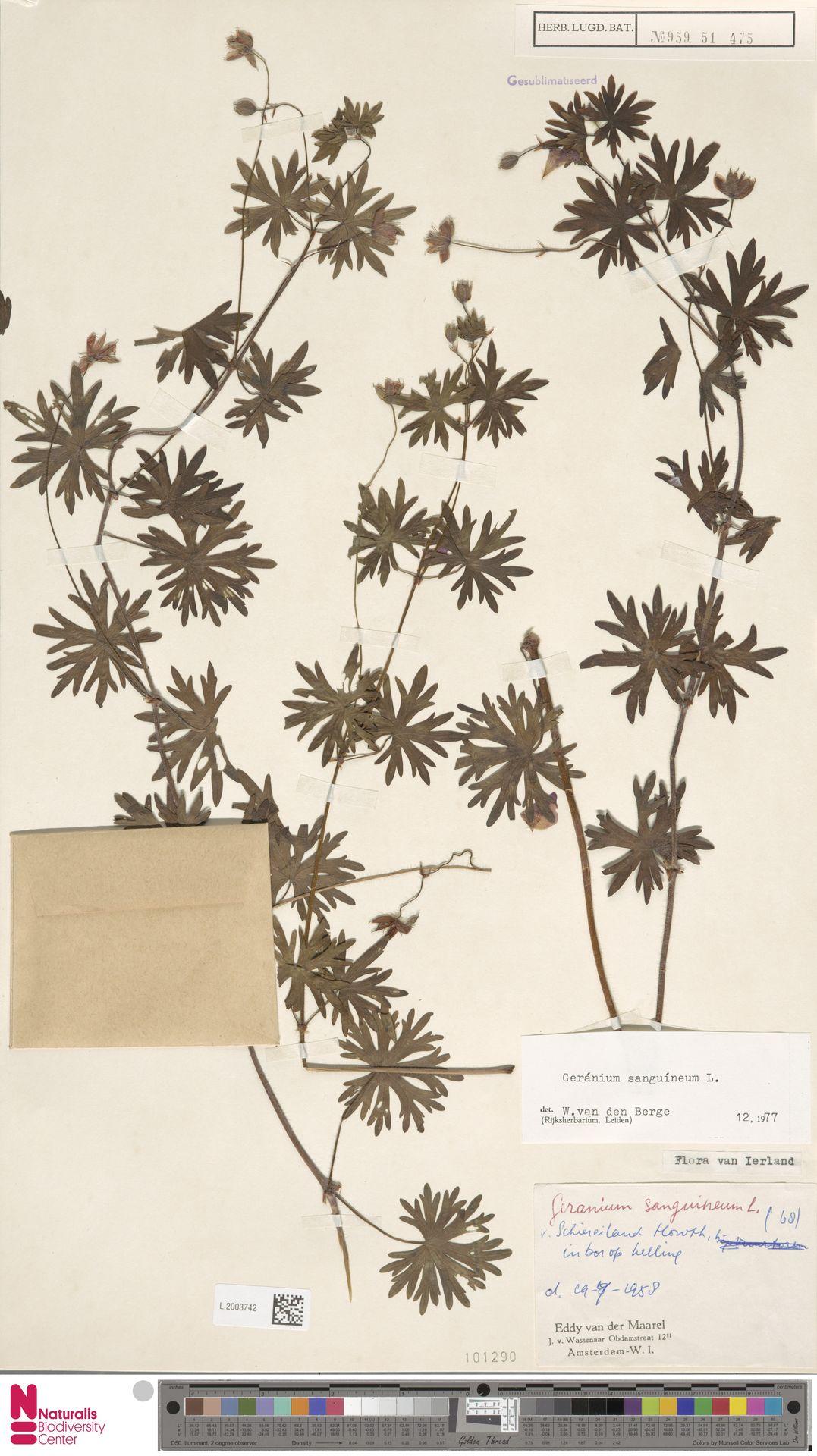 L.2003742 | Geranium sanguineum L.