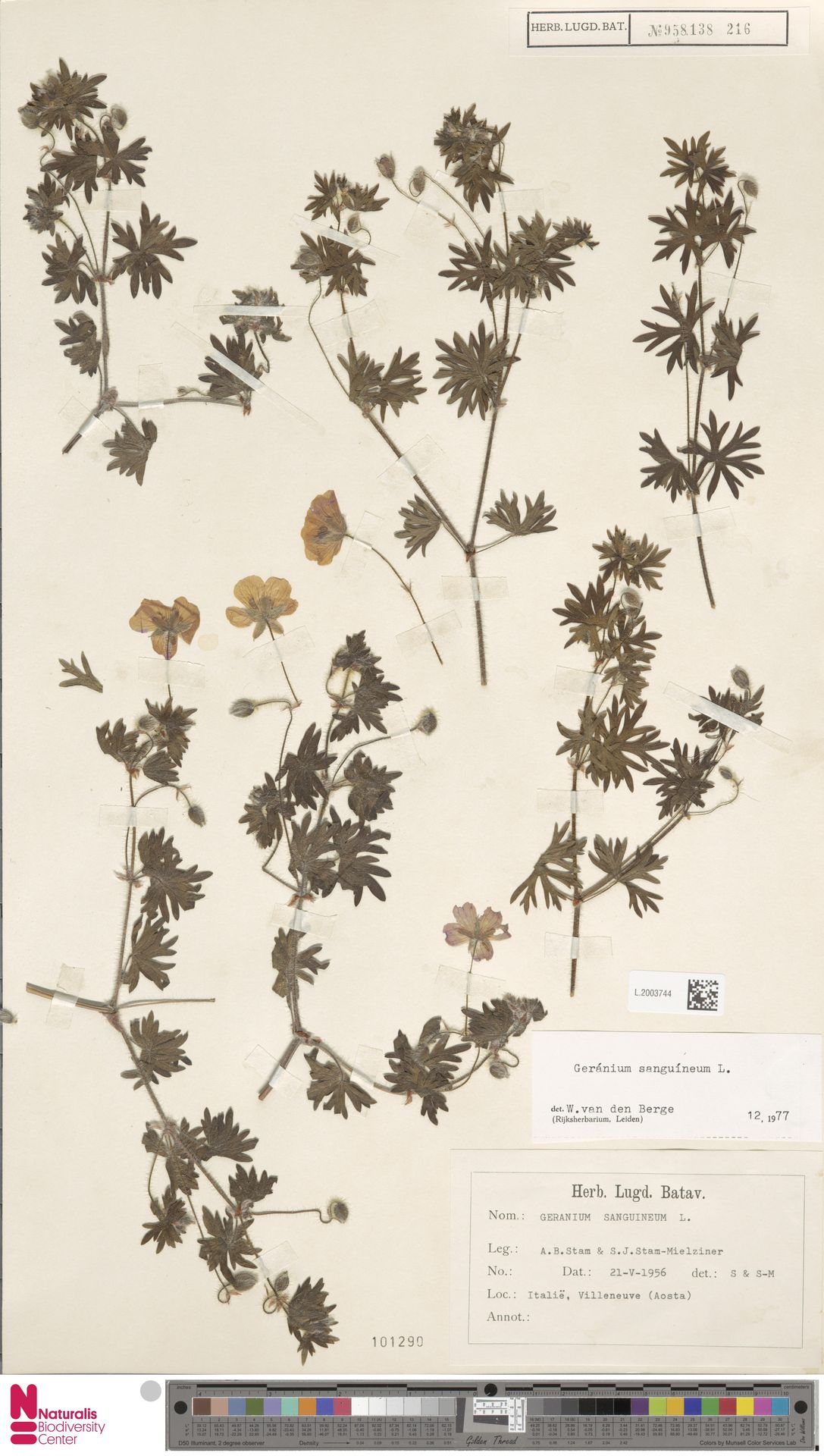 L.2003744 | Geranium sanguineum L.