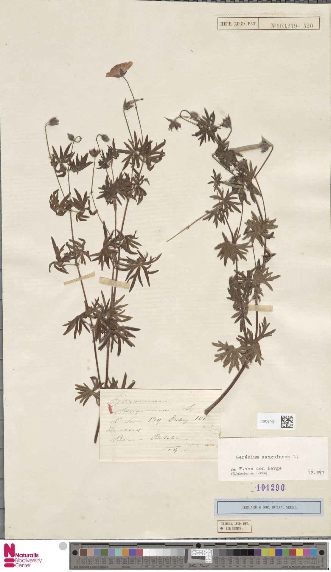 L.2003745 | Geranium sanguineum L.
